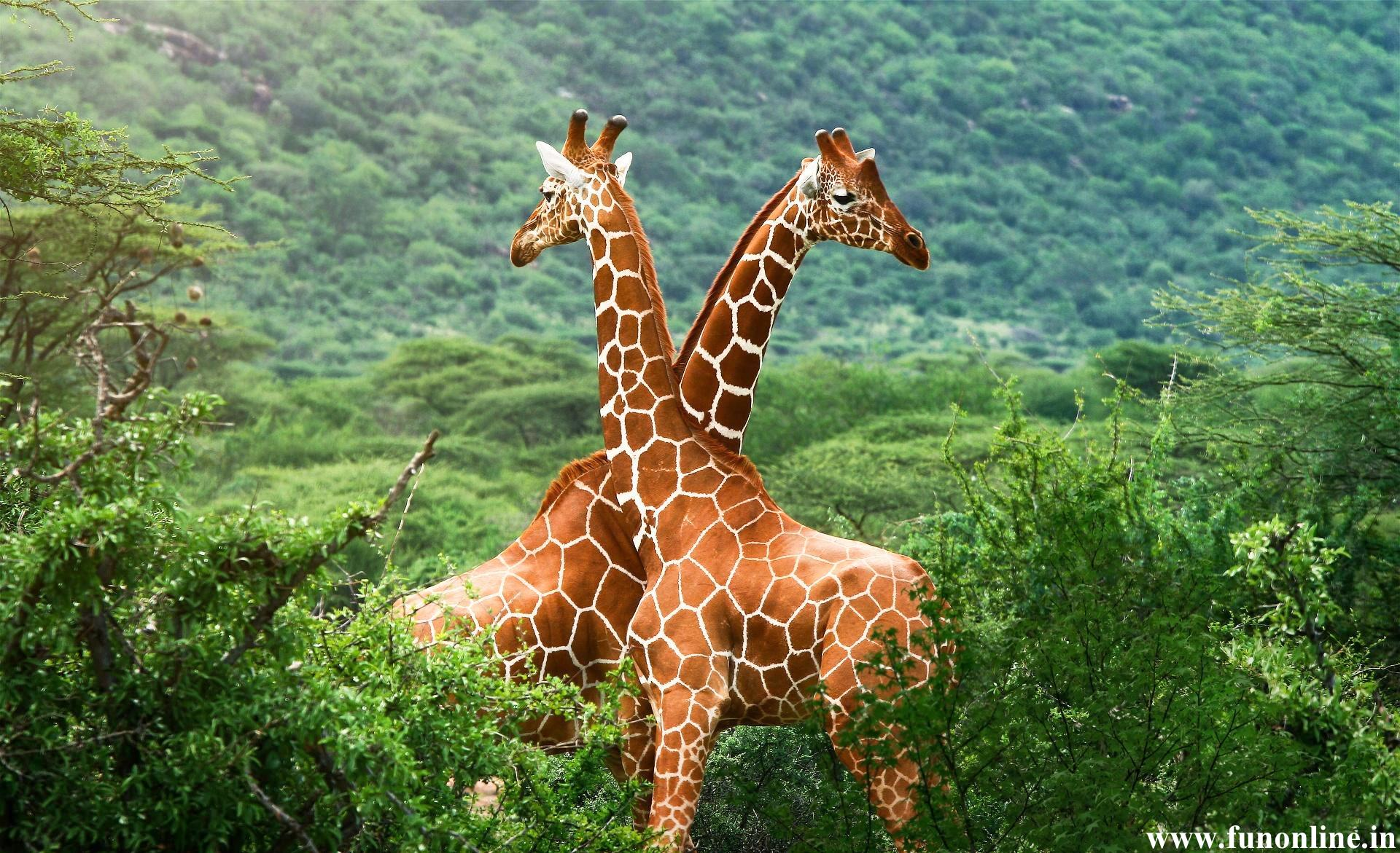 giraffe-wallpaper-1